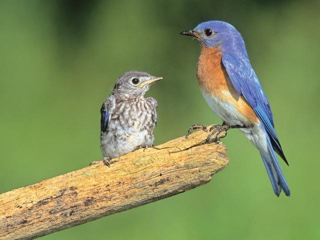 Blue Bird - WBU