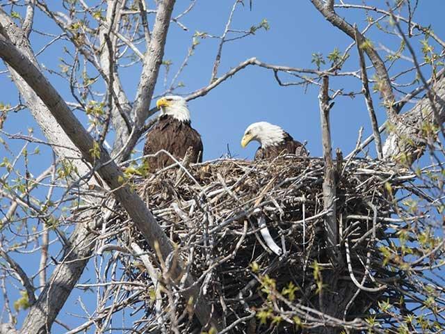 nesting_eagles.jpg