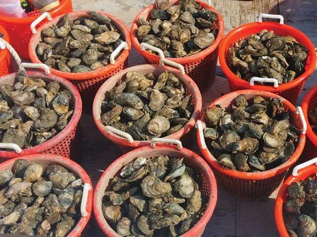 bushels_of_oysters.jpg