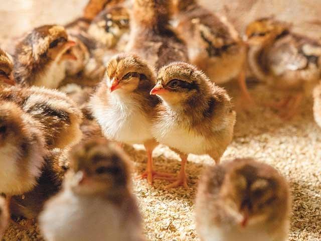 speckled_sussex_chicks.jpg
